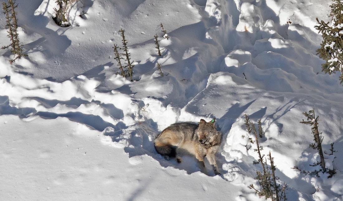 a wolf lies on snow