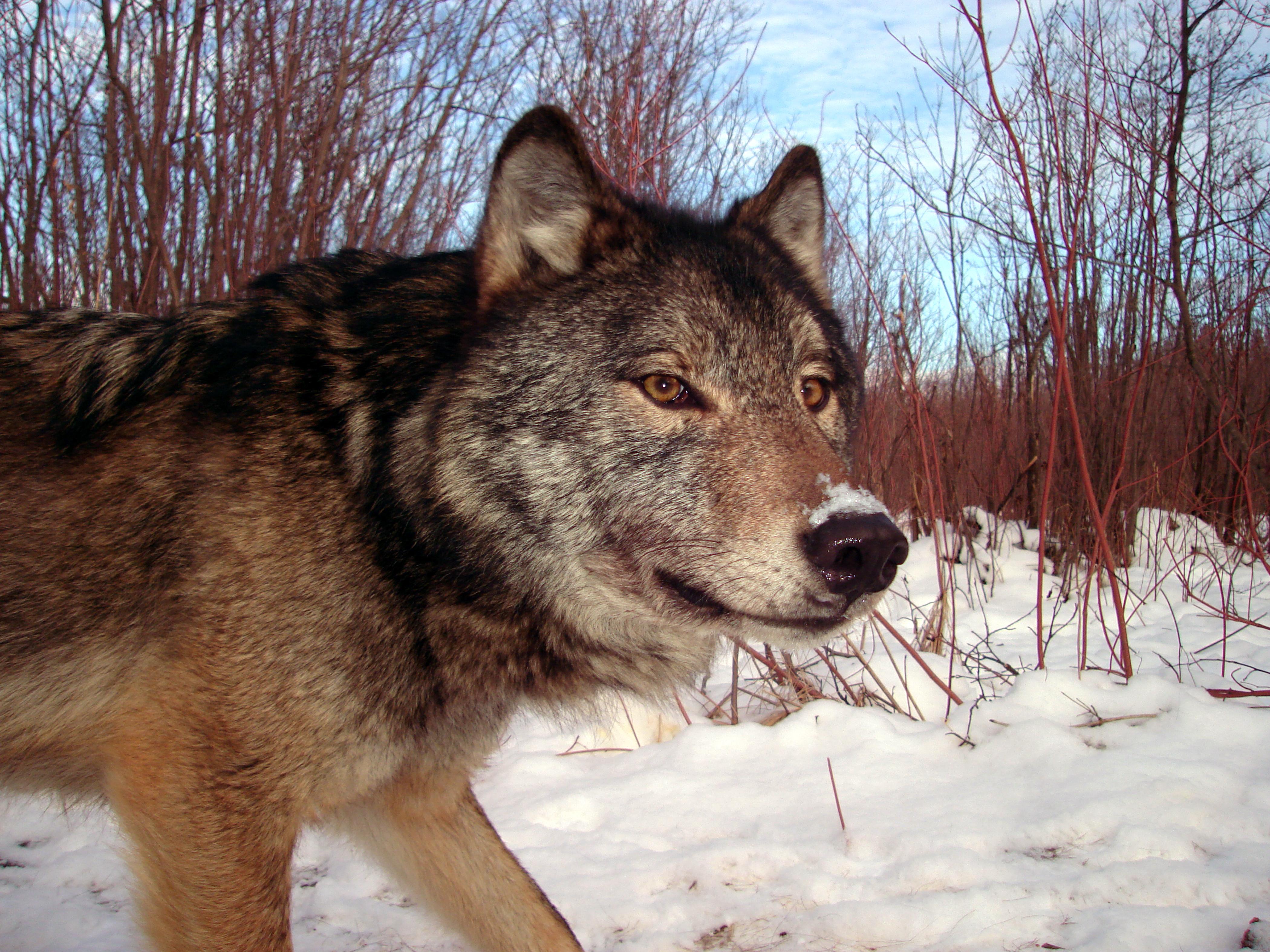 closeup of a wolf