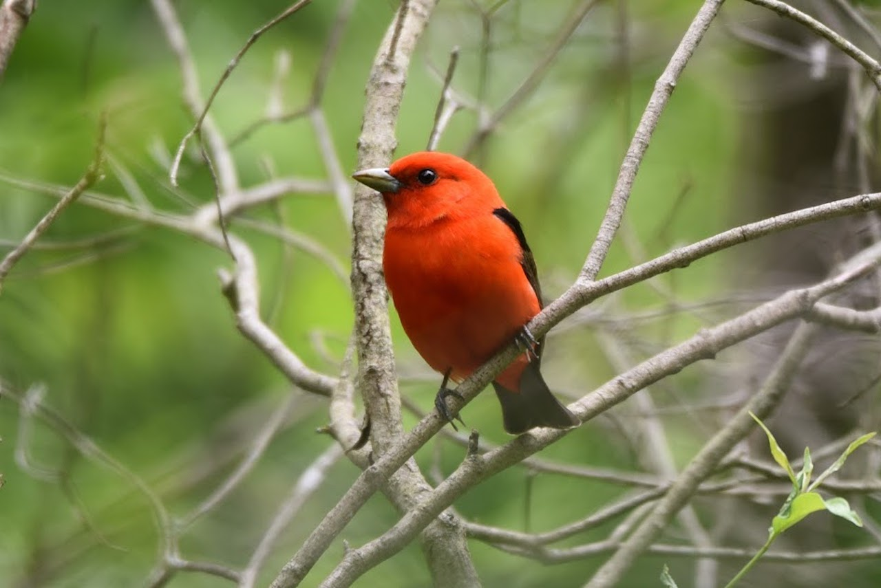 a red bird on a branch