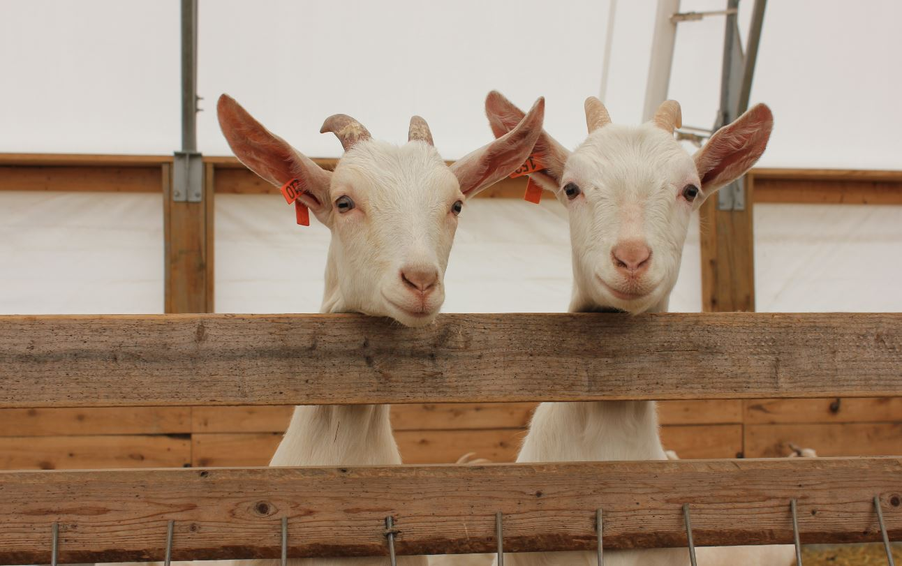Kidding Around Why More People In Ontario Are Farming Goats