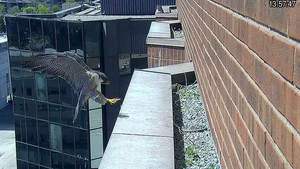 A falcon lands on a ledge
