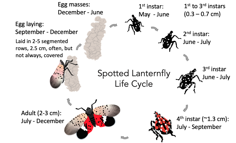 drawing showing the lifecycle of a lantern fly