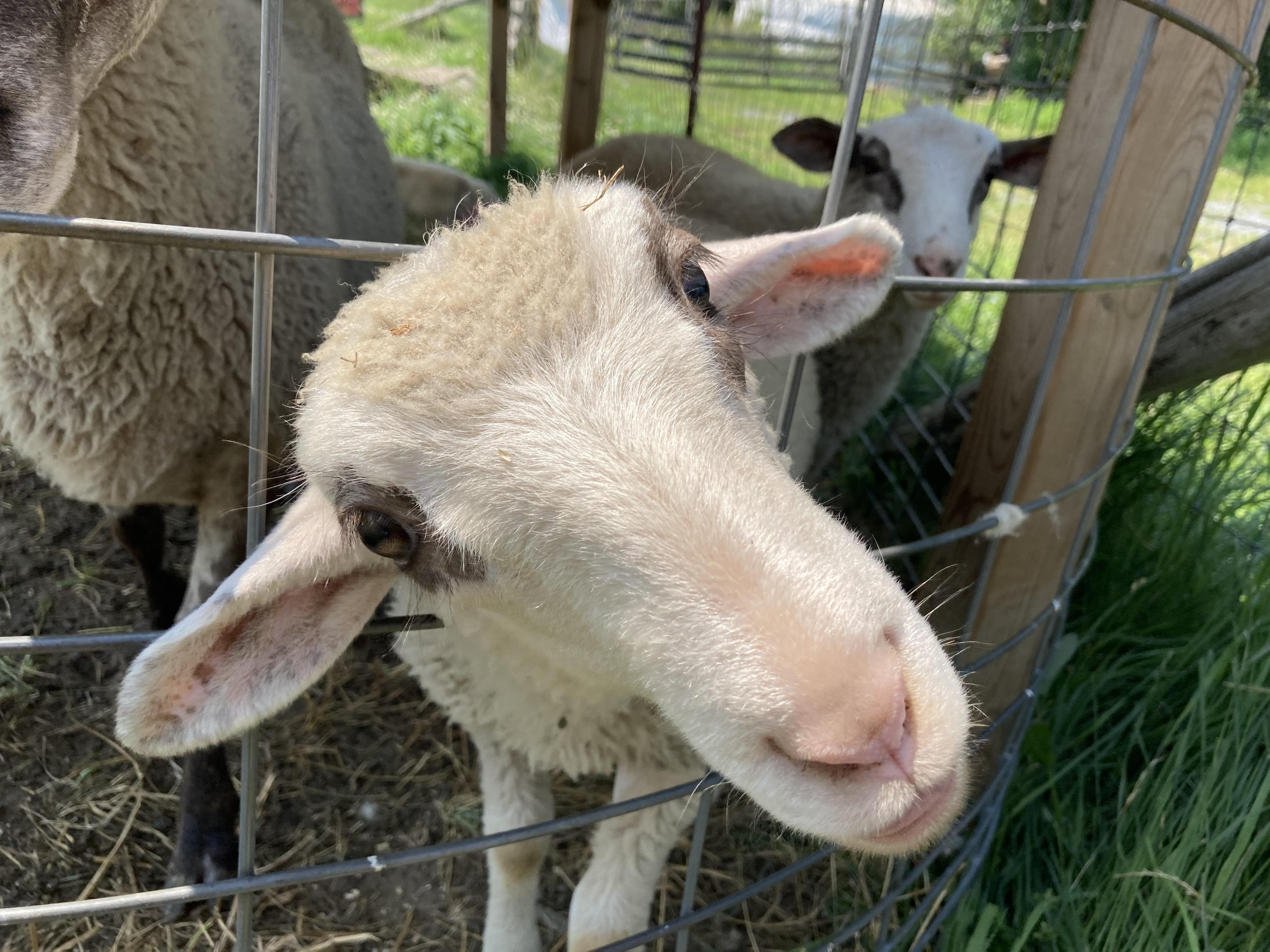 closeup of a sheep's face