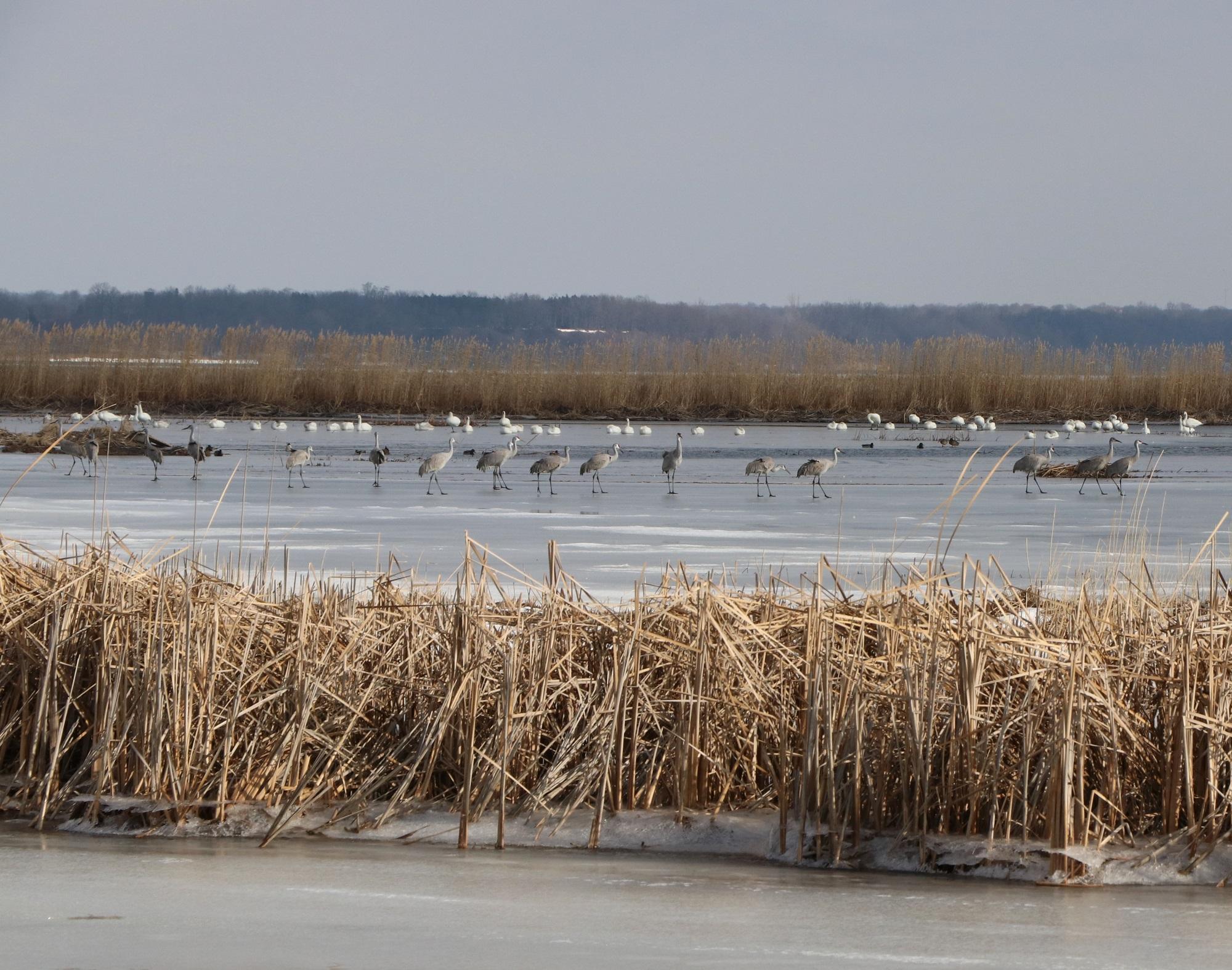cranes in a marsh