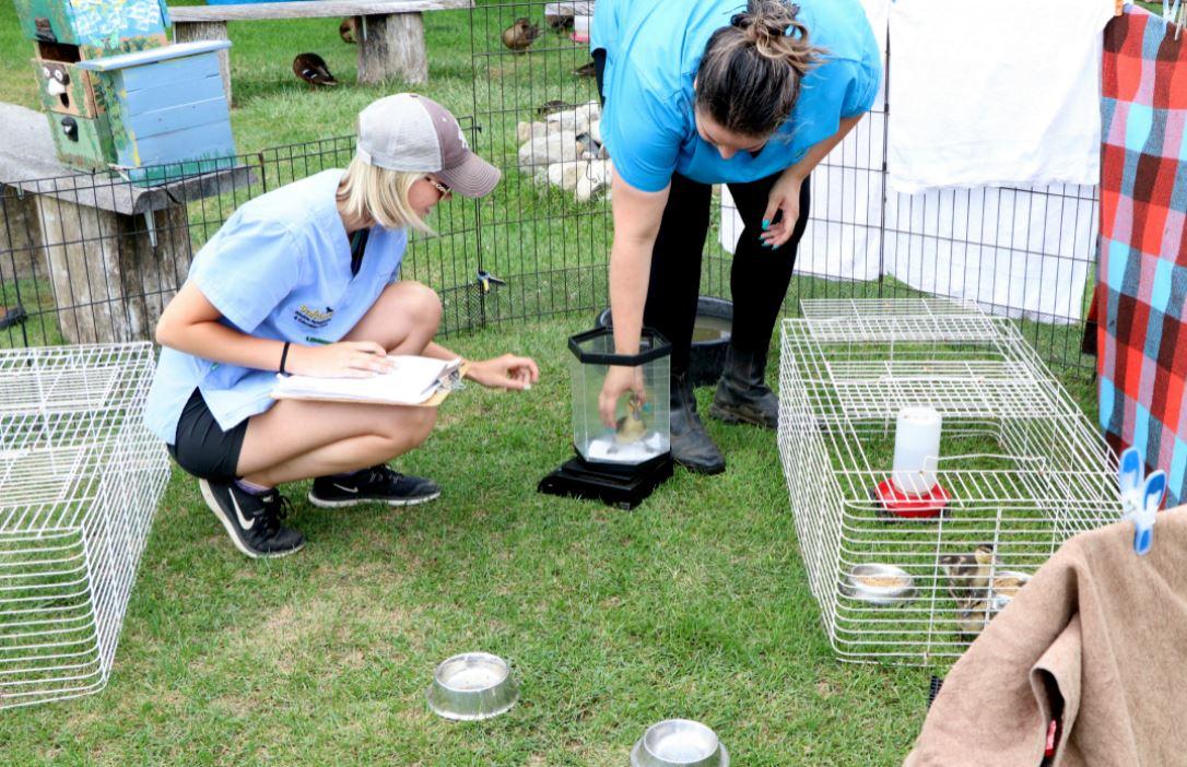 two volunteers helping ducklings