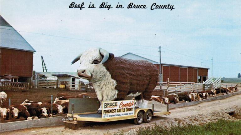"""postcard showing large fibreglass bull on a trailer with the words """"Beef is big in Bruce County"""""""