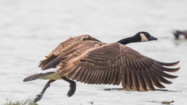 a Canada goose spreading its wings