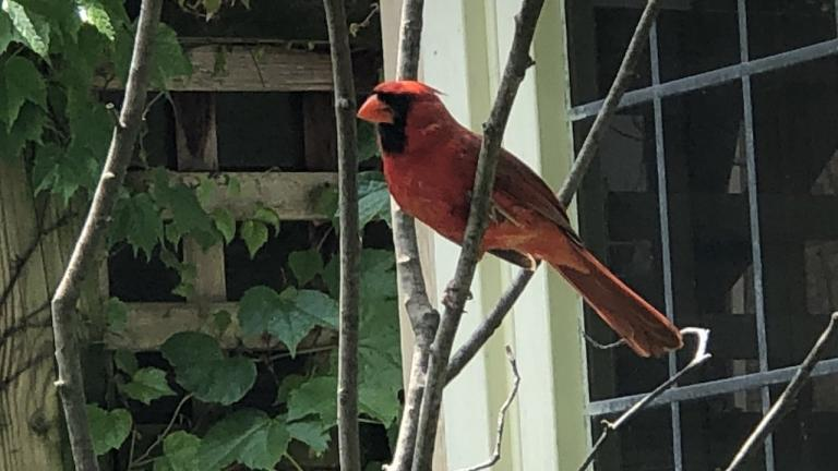 a cardinal sitting on a branch