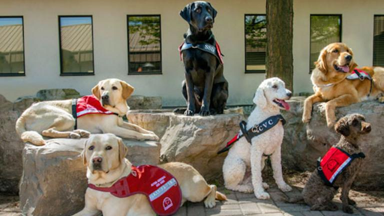 guide dogs from the article How COVID-19 is keeping people from their service dogs