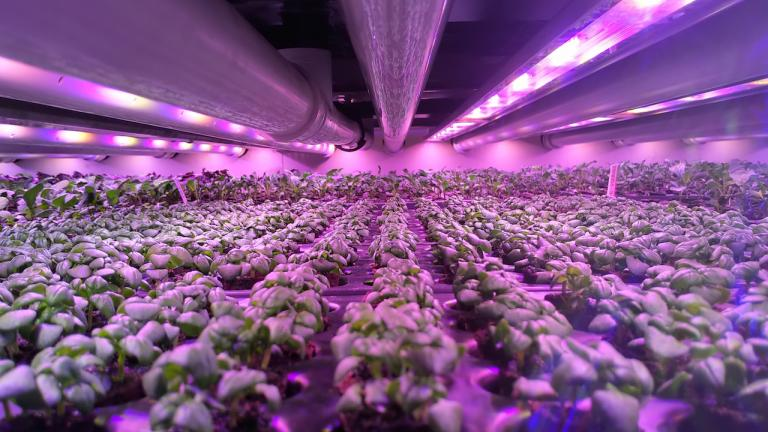 plants grow under pink lights from the article Vertical farming is on the rise in Ontario