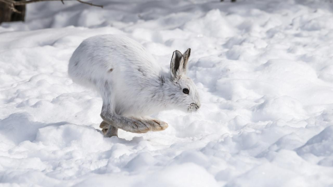 snowshoe hare snow hare snowshoe hare habitat alaskan hare snowshoe hair snowshoe hare diet varying hare snowshoe animal snowshoe hare facts snowshoe hare range lynx and hare snowshoe hare predators snowshoe hare and lynx do lynx eat hares snowshoe hare scientific name snowshoe hare size snowshoe hare summer hare predators snow hare rabbit tundra hare snowshoe lynx snowshoe hare food lynx hare the snowshoe hare canadian lynx and snowshoe hare do hares eat lynx snow hares foot snowshoe hare physical characteristics lynx snowshoe hare snowshoe hare fun facts hare in winter snowshoe hare rabbit snowy hare a snowshoe hare snowshoe hare eat snowshoe hare for sale snowshoe hare summer coat scientific name for snowshoe hare snowshoe hare characteristics snowshoe hare facts for kids snowshoe hare foot snow hare facts snowshoe hare interesting facts snowshoe hare winter predators of hares snowshoe hare fur snowshoe hare prey snowshoe hare description physical characteristics of snowshoe hare