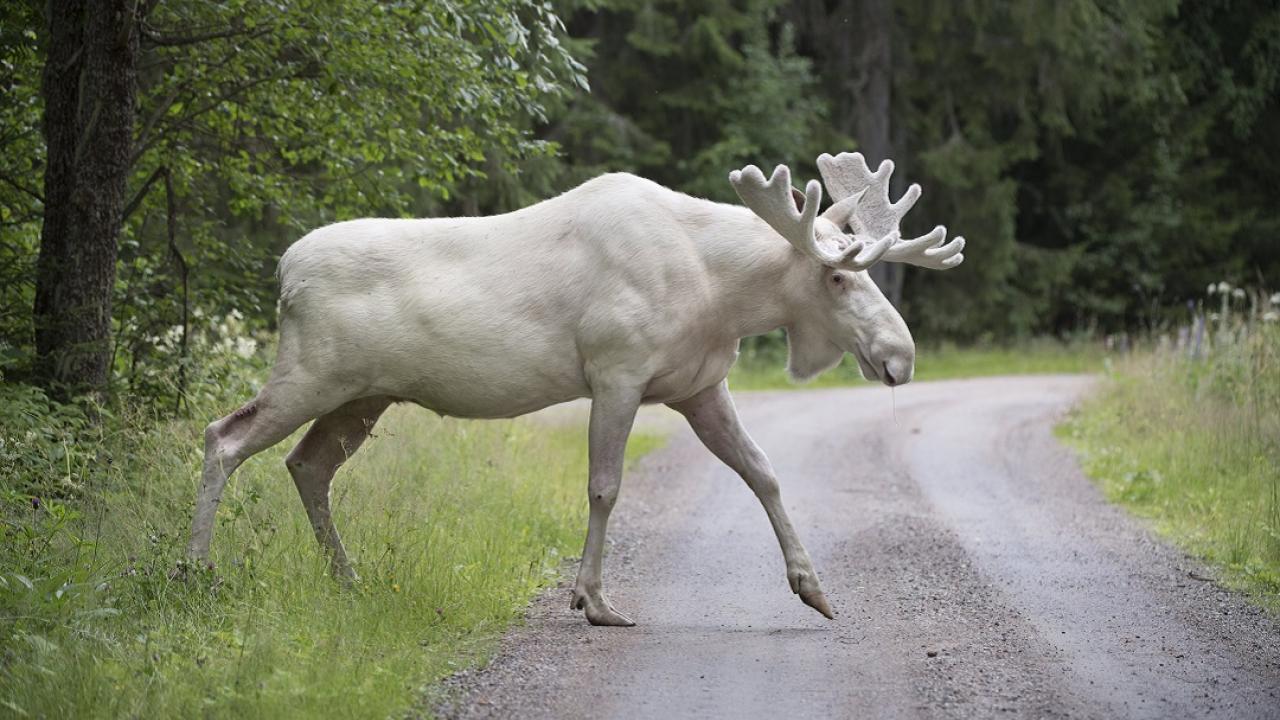 white moose in Sweden
