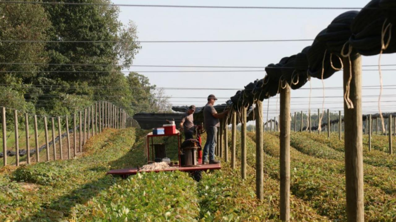 people putting up screen on a ginseng farm