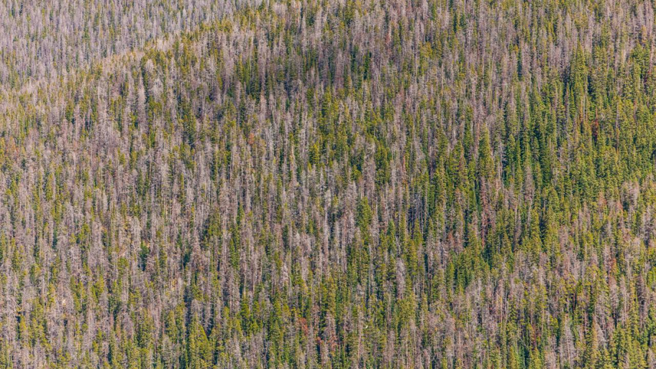 a forest infested with mountain pine beetles