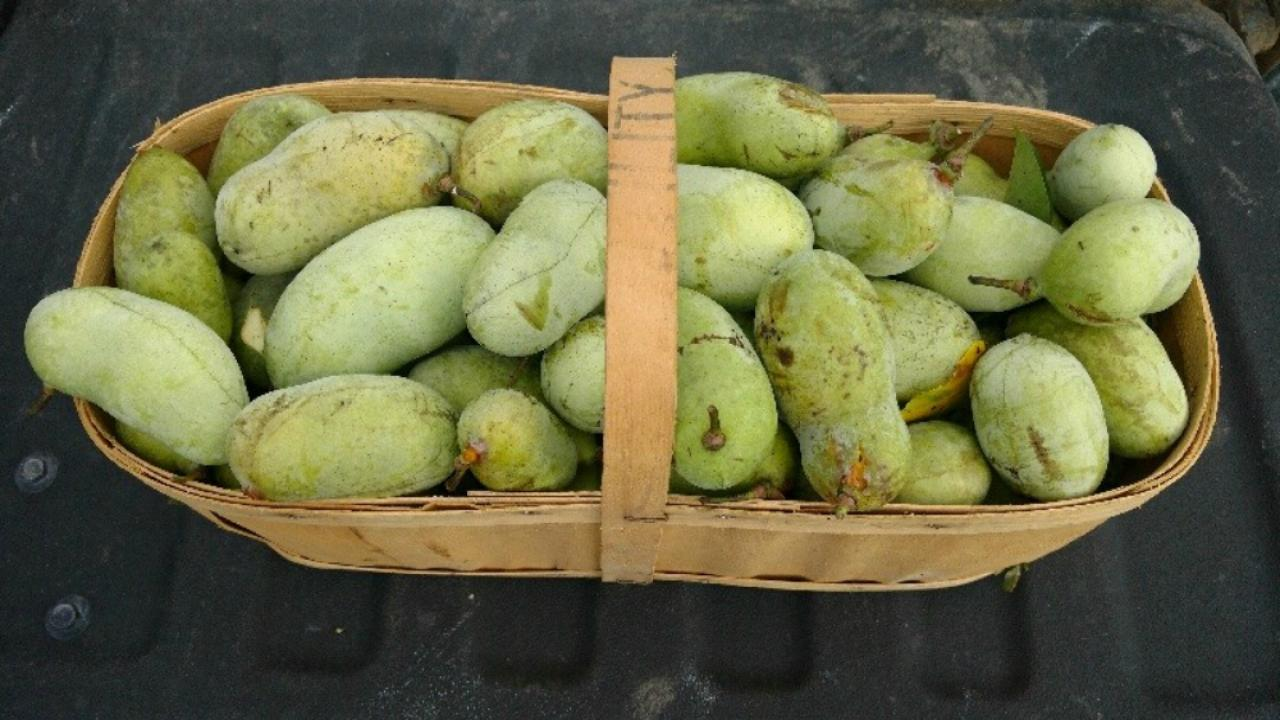 a basket of paw-paw fruit