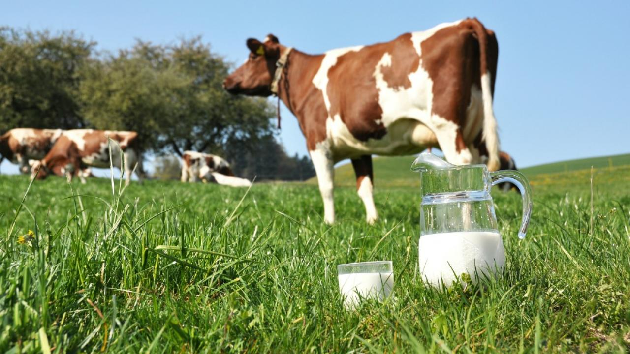 a cow grazing in a field with a jug and glass of milk in the foreground