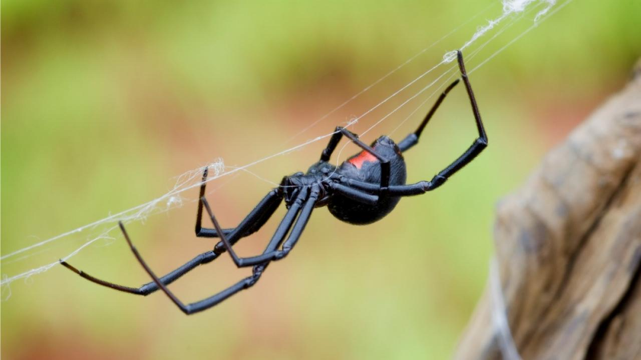 black widow spider weaving a web