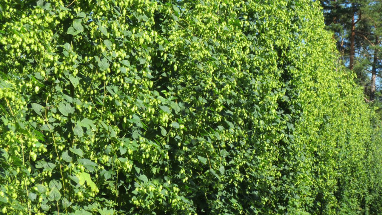 Cascade hops growing