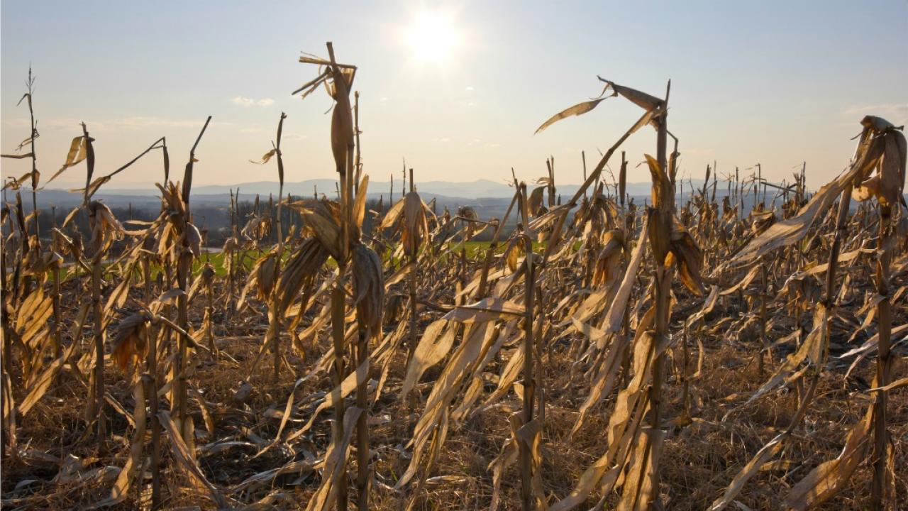 dry corn in a farm field
