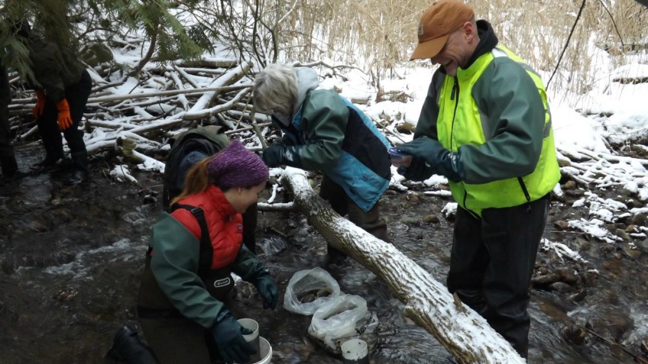 volunteers working to restock salmon in an Ontario creek