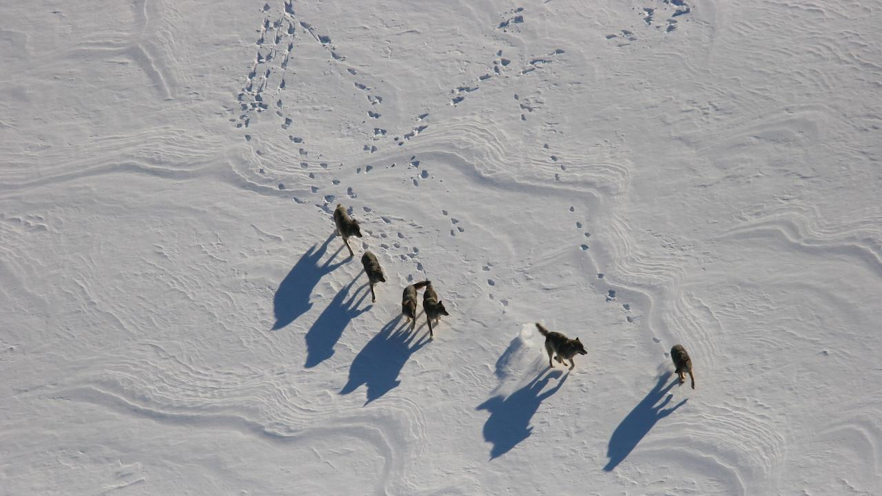 a pack of wolves and tracks on the snow