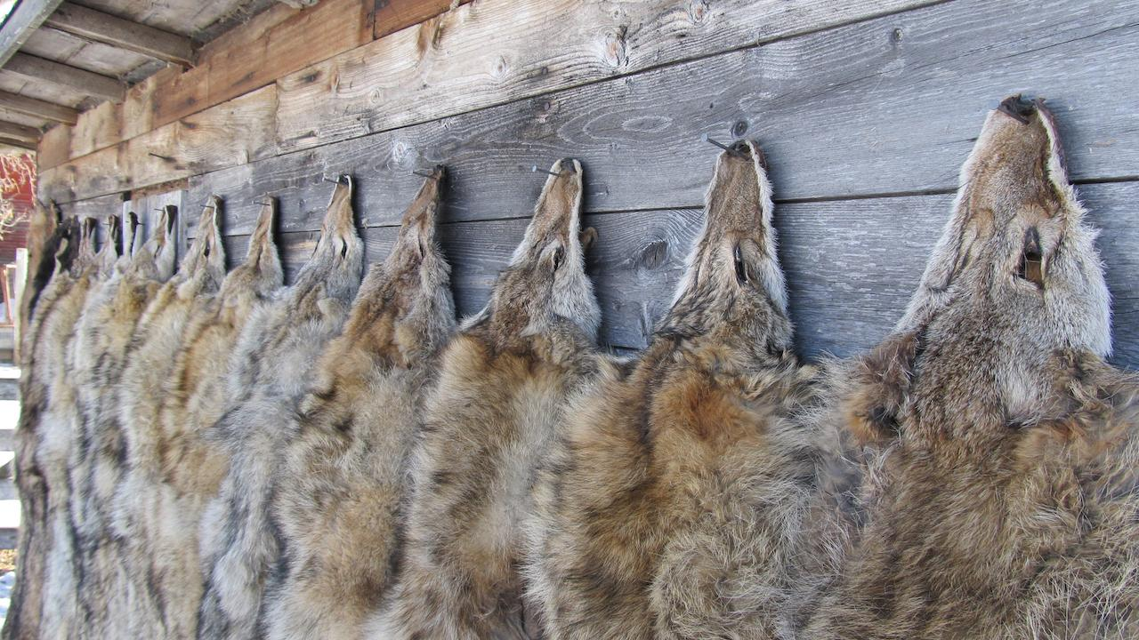 coyote pelts hang on a wall