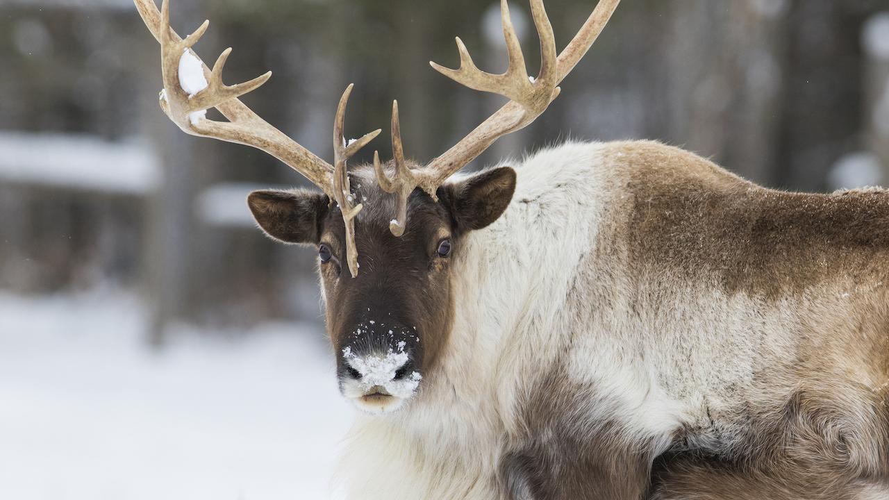 closeup of a caribou