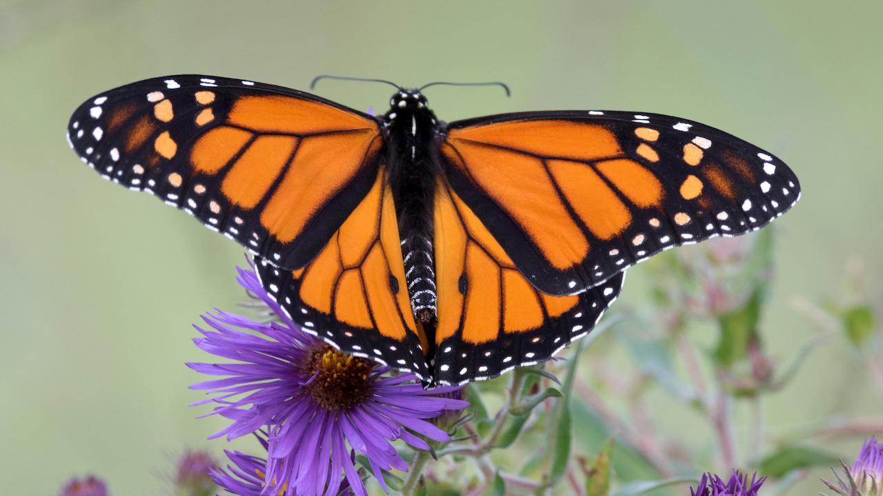 a monarch Butterly on a purple flower