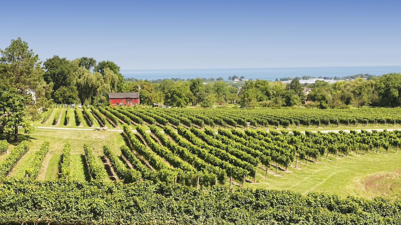 a vineyard in Niagara
