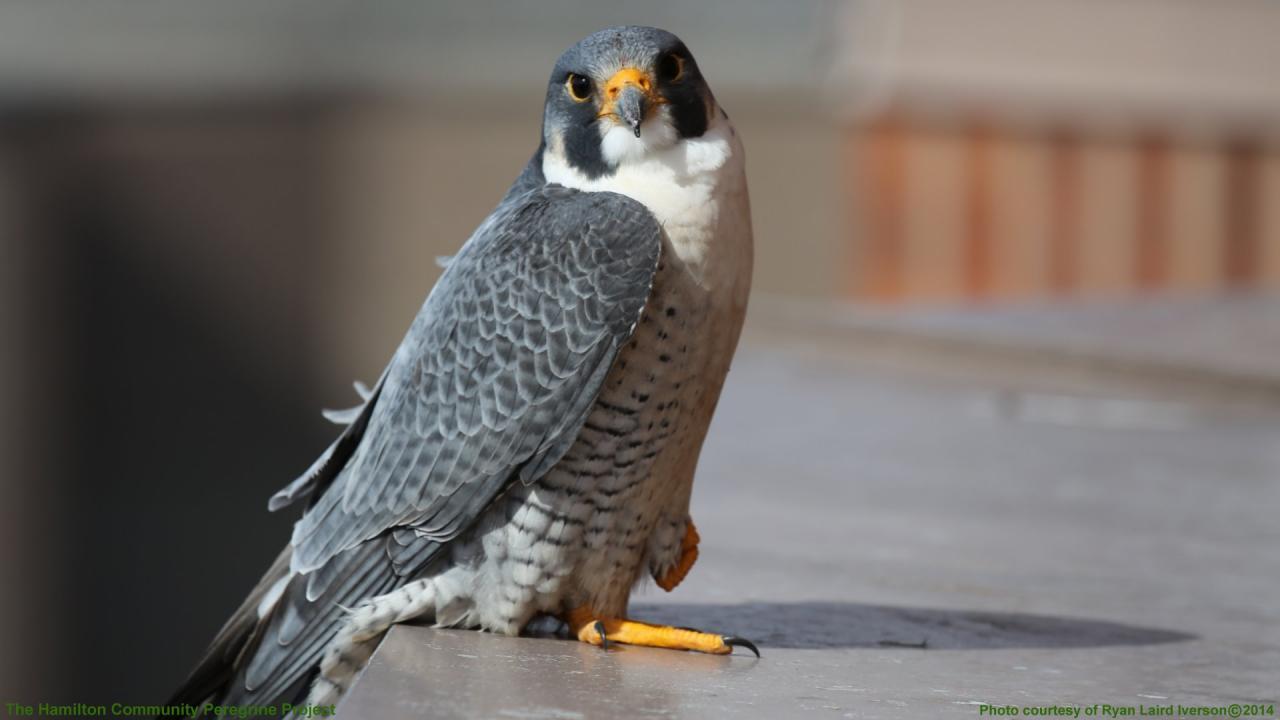 A falcon sits on a ledge