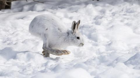 Snowshoe hare jumping through snow.