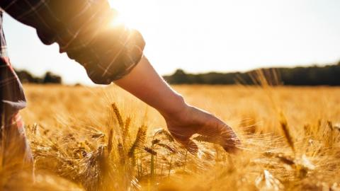 farmer touching crops in a wheat field