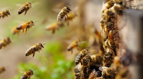 honeybees in a hive