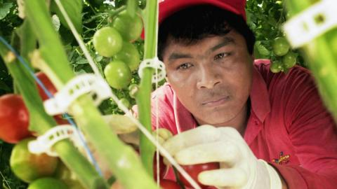 a farm worker picking tomatoes