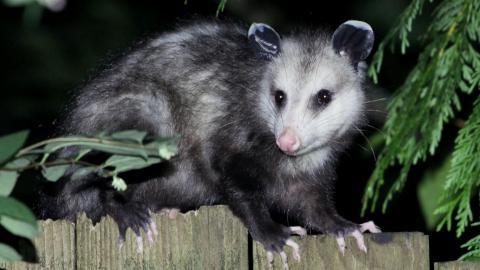a Virginia opossum