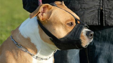 a pit bull with a muzzle