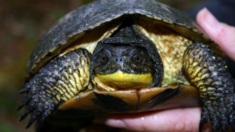 a Blanding's turtle
