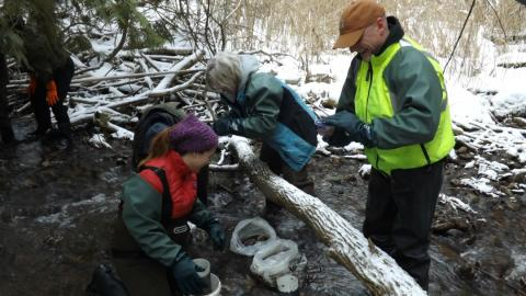 volunteers working to restock salmon in an Ontario creek