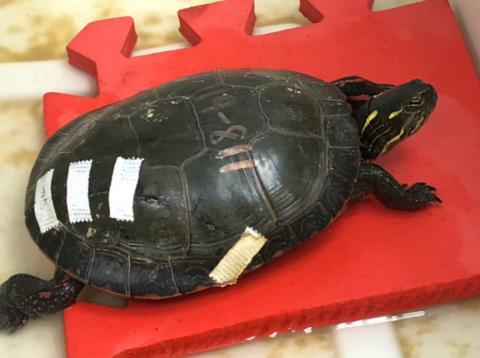 a turtle with bandages on its shell