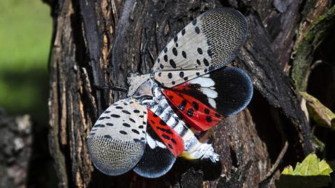 a red, white, and black lanterfly on a tree trunk