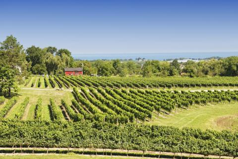 a vineyard in Niagara