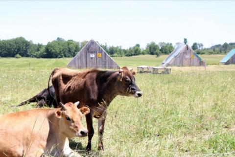 cattle on a farm