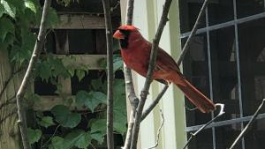 a cardinal sitting on a branch from the article Bringing civility to social media, one tweet at a time