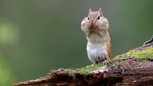 chipmunk from the article  Four ways you can keep Ontario wildlife safe this spring