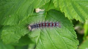 caterpillar from the article How Ontario is battling a very hungry caterpillar