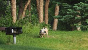 a pig on a lawn in front of trees from the article Why Ontario really doesn't want 30 to 50 (or any) feral hogs