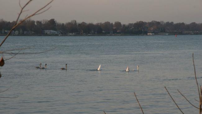 St. Clair River swans