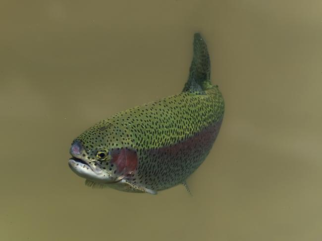 a trout swimming in water