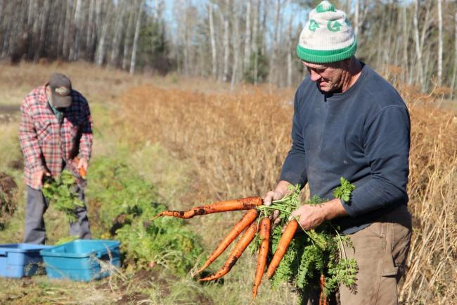 Bob and Tim Wall harvest carrots at Walls' Pork Shop in Oxdrift, Ontario.