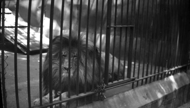 a lion in a cage
